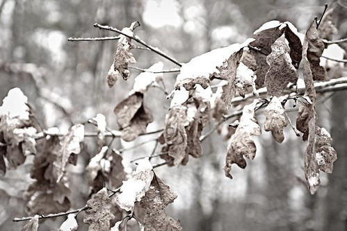 dead leaves and snow