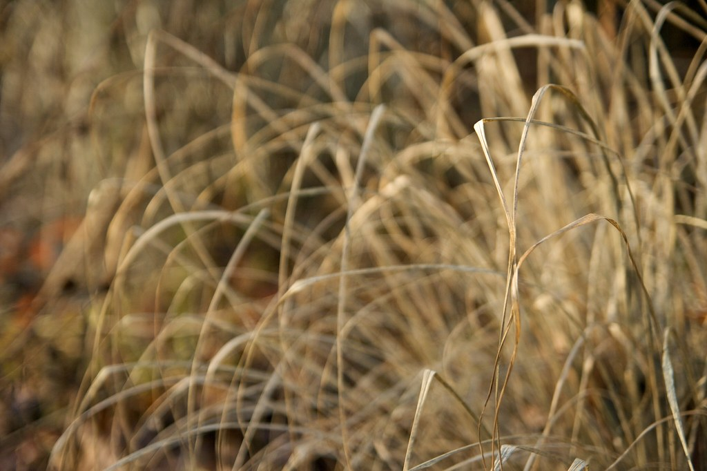 Pennisetum grass in winter