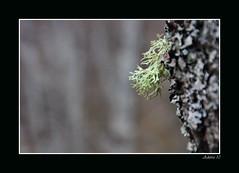 Liken (innaakki) Tags: diciembre pyrenees 2010 liquen liken adarra cauterets pirineoak abendua bois daumede ramalina farinacea
