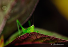 Hello sneaky! (ADHAM HAWRAMY) Tags: plants macro nature grass leaves animals eyes insects hidden micro hiding hopper sneaky theotherworld insectworld greatshots insectmacros topshots insectfaces sigma150mm hairyplants nikond90 flickraward photosandcalendar natureselegantshots nikonflickraward panoramafotografico greenlocust theoriginalgoldseal flickrportal insectantenas