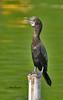 กาน้ำเล็ก  Little Cormorant (somchai@2008) Tags: littlecormorant phalacrocoraxniger กาน้ำเล็ก thewonderfulworldofbirds qualitygold