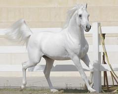 Pearly (frenzyyyy1) Tags: horse animal canon photo picture kuwait arabian arabianhorse paard     caballosrabes frenzyyyy arabischepaarden cavalliarabi q8   coolay11 arabianhesta arabischepferde arabiskahstar   arapatlar ceffylauarabaidd  araberheste