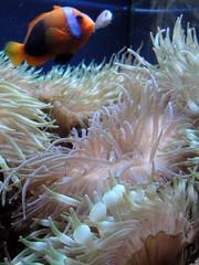 Living Planet Aquarium - Clownfish (fkalltheway) Tags: fish aquarium utah clownfish anenome sandyutah oceanexplorer livingplanetaquarium fkalltheway