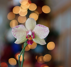 Orchid In Bloom (btn1131) Tags: plants flowers floral orchid christmas sony slt a33 dt 50mm f18