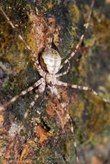 carmouflage (DQuantan) Tags: macro spider nikon web bugs makro gambar kuantan pahang d60 selai serangga labahlabah endaurompin sp90mm tamannegarajohor dquantan npc10 lubuktalah