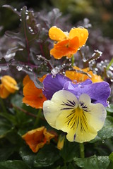 frosted pansies (bonnie_lass13) Tags: flowers plant nc wilmington potted catchycolorsyellow catchycolorsgreen catchycolorspurple catchycolorsorange catchycolorsviolet