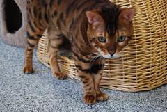 Axel (meejoebee) Tags: cats ontario canada cat kitty kitties milton spca adopt oakville animalshelter adoptacat oakvillehumanesociety