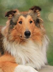 [フリー画像] 動物, 哺乳類, イヌ科, 犬・イヌ, コリー, 201101071100