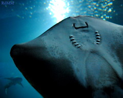SHARK AND STINGRAY (Roberta MM) Tags: ocean water gua shark stingray oceano tubaro arraia