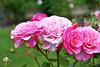 My girl HDR (wiifm) Tags: flower rose garden wellington thorndon nikond90