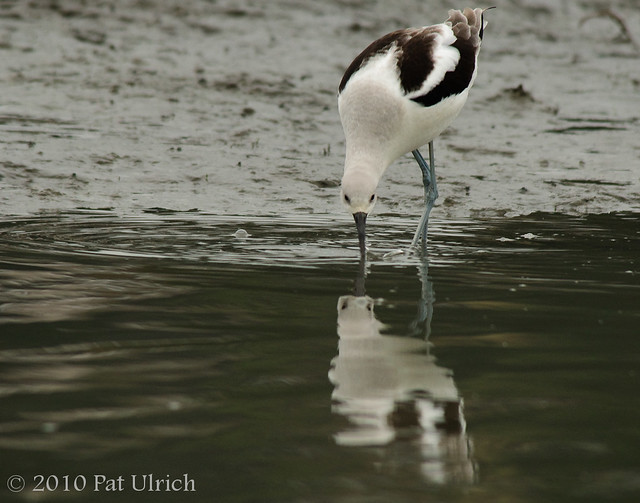 Avocet, reflected -- Pat Ulrich Wildlife and Nature Photography
