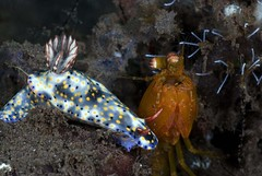 Hypselodoris Nudibranch with Mantis Shrimp