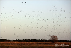 Pink Footed Geese (Recycled Teenager (NORFOLK IMAGES)) Tags: nature birds geese wildlife goose holkham pinkfoot pinkfootedgeese wikdlife
