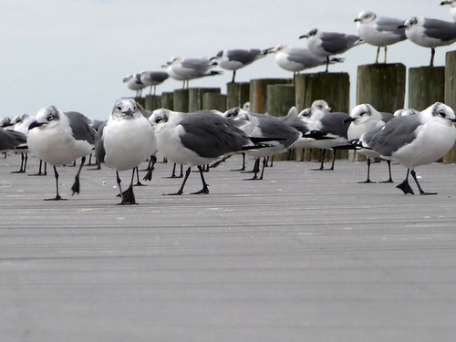 Seagulls on the pier at Sanders Beach Park