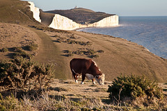 Red Bull 'gives you wings' (penwren) Tags: winter england grass sussex coast chalk january bull cliffs coastline footpath slogan sevensisters southdowns birlinggap southdownsway downland belletoutlighthouse