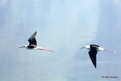 Black winged Stilt In Flight..1 (K. Shreesh) Tags: india birds pune supershot kavdi eos50d