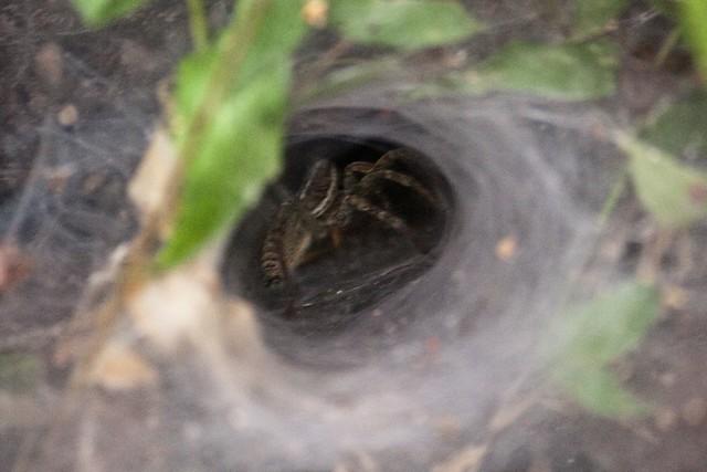 Tunnel spider spins its web
