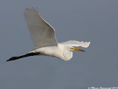 Egretta (v4vodka) Tags: morning white bird animal sunrise wildlife birding flight egret birdwatching greategret shorebird ardeaalba egretta flyingegret czaplabiala czala