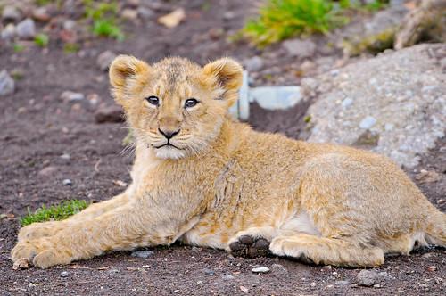 [フリー画像] 動物, 哺乳類, ネコ科, ライオン, 201101181700