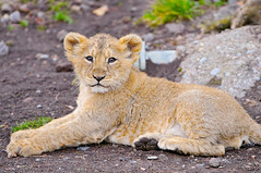 [Free Image] Animals, Mammalia, Felidae, Lion, 201101181700