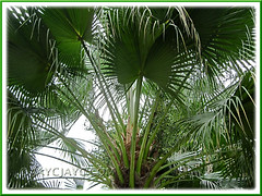 Livistona chinensis (Chinese Fan Palm, Fountain Palm): zoom in on its crown, laden with olive-like fruits