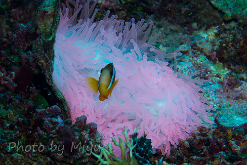 Anemonefish at pink anemone