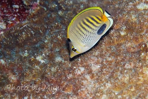 Spotbanded butterflyfish