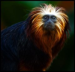 The Fractal Tamarin (Steve Wilson - over 2 million views thank you) Tags: uk greatbritain brazil england black southamerica nature animal gardens blackbackground america forest photoshop garden mammal gold zoo monkey golden amazon nikon cheshire britain background wildlife south great lion conservation chester american jungle tropical plugin fractal endangered d200 captive primate rare headed captivity tamarin upton onblack on chesterzoo insectivore zoological omnivore zoologicalgarden zoologicalgardens nikond200 leontopithecus chrysomelas fractalius caughall goldenlionheadedtamarin