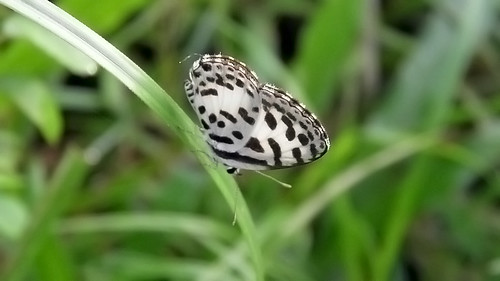 Common Pierrot (Castalius rosimon)
