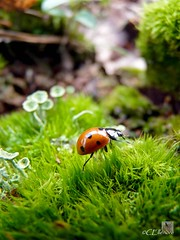 Marienkfer / ladybug (2) (Ellenore56) Tags: light inspiration color colour macro green nature wet animal bug insect lumix licht photo moss klein foto little magic natur january panasonic tiny ladybird ladybug environment imagination wee lichen grn moment midget creature makro teeny flechte magical farbe insekt ladybeetle moos tier januar ecological kfer ascomycota marienkfer umwelt augenblick coleoptera teenyweeny weeny cladonia coccinellidae insecta waldboden faszination wetness dampness lebewesen littlebitty feuchtigkeit clamminess cladoniafimbriata forestsoil trompetenflechte schlauchpilze fz38 ellenore56 dmcfz38 winzigklein dewiness panasoniclumixdmcfz38 20012011