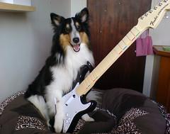 Jogando Guitar Hero! (Tassi_) Tags: guitar sheltie sheepdog guitarhero shetland chopp