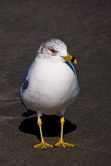 Seagull (Matthew Trudeau Photography) Tags: beach sc nature birds myrtlebeach wings sand seagull sony southcarolina alpha specanimal sonya200 dslra200 sonyalphaa200 sonyalpha200 sonyalphadslra200 rftrudeau