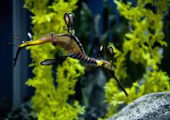 Sea Dragon / Georgia Aquarium (mjkjr) Tags: blue atlanta green ga georgia rebel aquarium lowlight glow underwater dof bokeh atl vibrant handheld georgiaaquarium seadragon canondslr f28 highiso selectivefocus 2011 1755mm canonlenses 550d t2i clubsi ef1755mmf28isusm 1202011 mjkjr httpwwwflickrcomphotosmjkjr