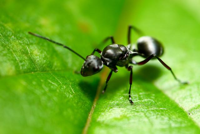 pulau ubin ant
