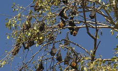 Flying Foxes (Rob Keulemans) Tags: india flyingfox bandhavgarh