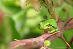 Karakter (Manon van der Burg) Tags: amphibian treefrog tiny small little green boomkikker bramenstruik bush naturelover naturephotography macro macrophotography sx60 powerrrrshot groen smallworld sunshine canon bramble