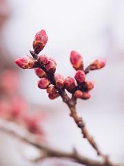 Kyoto Walks - Kiyomizudera #4 (david.ow) Tags: buds olympus flowers kiyomizudera street em5ii shrine budding kyoto macro travel pink sakura spring nature japan temple