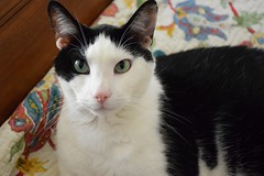 Poe (marensr) Tags: black white cat green eyes pink nose whiskers