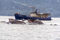 Indigo Bubble with three little herring (Gillfoto) Tags: whales whale humpbackwhale bubblenetfeeding southeastalaska southeast alaska juneau indigo whalewatching