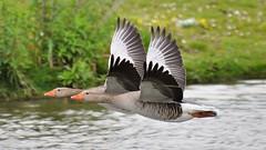 Synchroonganzen /Synchronized geese (Rob Teunen aka Borelius) Tags: geese ganzen qualitygold