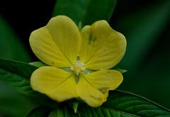 Ludwigia octovalvis (Nieminski) Tags: park fauna creek flora nikon australia walker national northern territory litchfield