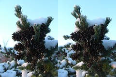 Pinecones (In 3D) (voxel123) Tags: tree leaves pine photography leaf stereoscopic stereogram stereophotography 3d crosseye crosseyed flora stereo photograph imaging stereopair pinecone chacha stereography pinecones stereoscopy stereographic freeview stereophotograph stereograms crossview chachamethod xeye stereoscopicimaging