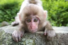 Curiosity (Masashi Mochida) Tags: baby snow japan monkey curiosity nagano jigokudani naturesfinest coth supershot abigfave rubyphotographer