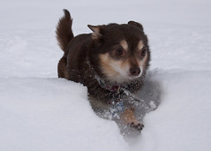 Cliffy-Explodes (AndyMeehan) Tags: dog snow chihuahua cliffy