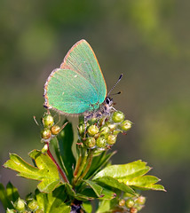 Green Hairstreak - Callophrys rubi (Greenwings Wildlife Holidays) Tags: macro green nature butterfly wildlife may lepidoptera hawthorn hairstreak greenhairstreak greenwings mattberry callophrysrubi butterflyconservation photocontesttnc11 greenwingsco