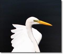 A arte de viver na lama sem sujar as vestes... (Marina Linhares) Tags: natureza ave garça nikond3000