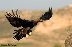 La reina. Aguila Real / Golden Eagle