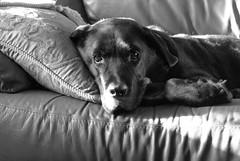 [フリー画像] 動物, 哺乳類, イヌ科, 犬・イヌ, ラブラドール・レトリバー, モノクロ写真, 201012161100