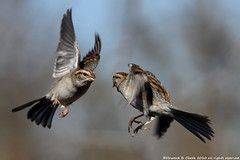 """Dogfighters"" (HowardCheekPhotography.com) Tags: bird nature canon photography fly flying fight cheek howard wildlife sparrows behavior dogfight chipping photocontesttnc11"