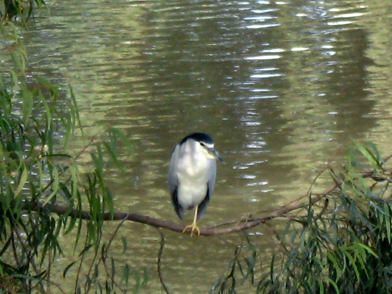 18-12-2010-night-heron
